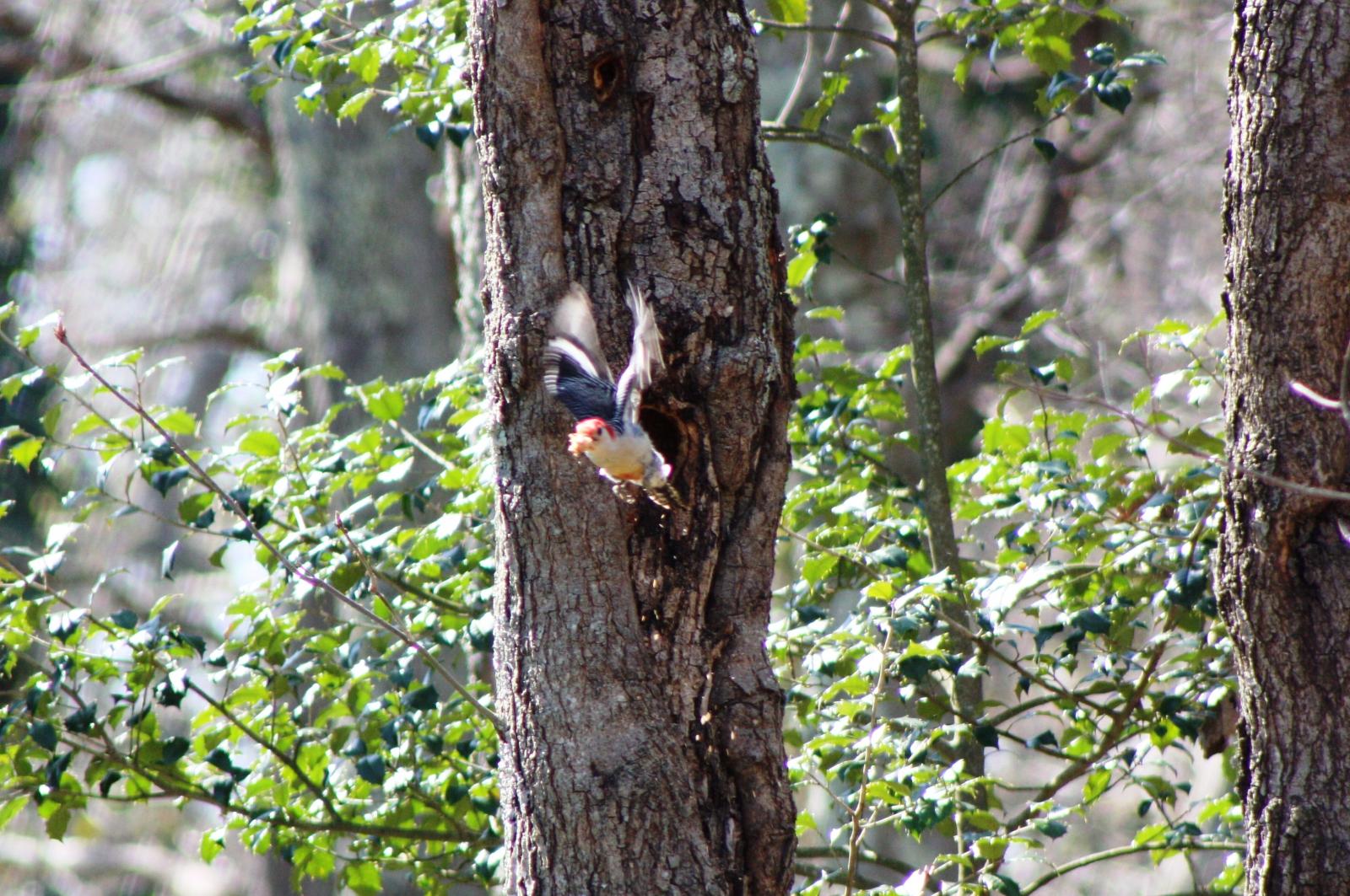 Red Bellied Woodpecker in the backyard