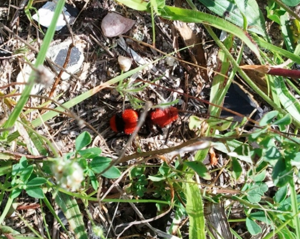 Cow Killer Wasp- Stafford Forge Shooting Range 2011 or 2012?