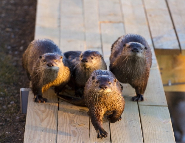 OCNJ River Otters